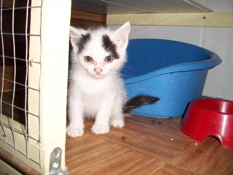 LAPONIE (chaton femelle noire et blanche) 04510