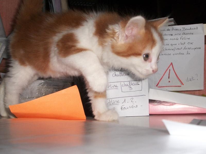 GUISMO (chaton mâle roux et blanc) 05210