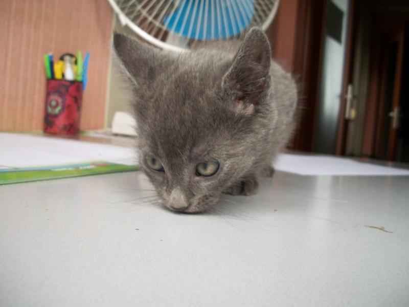 Paname (chaton gris cendré) RESERVE 05510