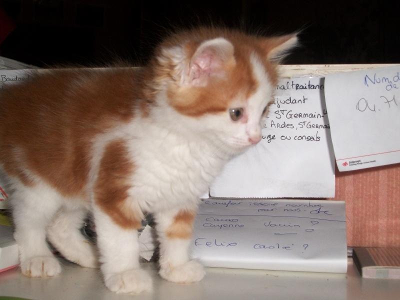 GUISMO (chaton mâle roux et blanc) 05611