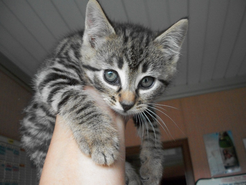 Pili-Pili (chaton tigré noir) 06011