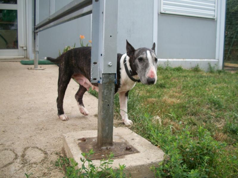 SAMA (bull terrier) 06310