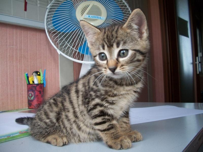 Pili-Pili (chaton tigré noir) 06410