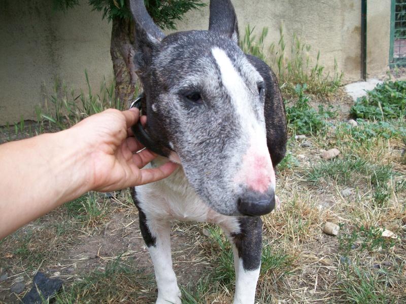 SAMA (bull terrier) 06510