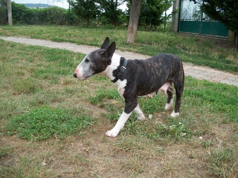 SAMA (bull terrier) 06710