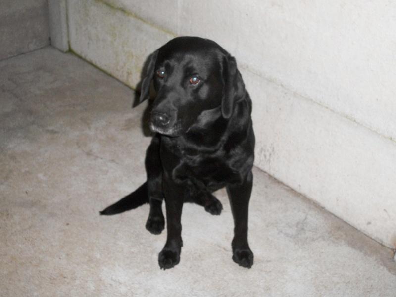 Trouvé à St Babel, chien croisé labrador noir 100_9012