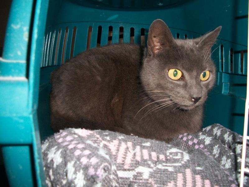 ULYSSE (chat mâle croisé chartreux) 100_9510