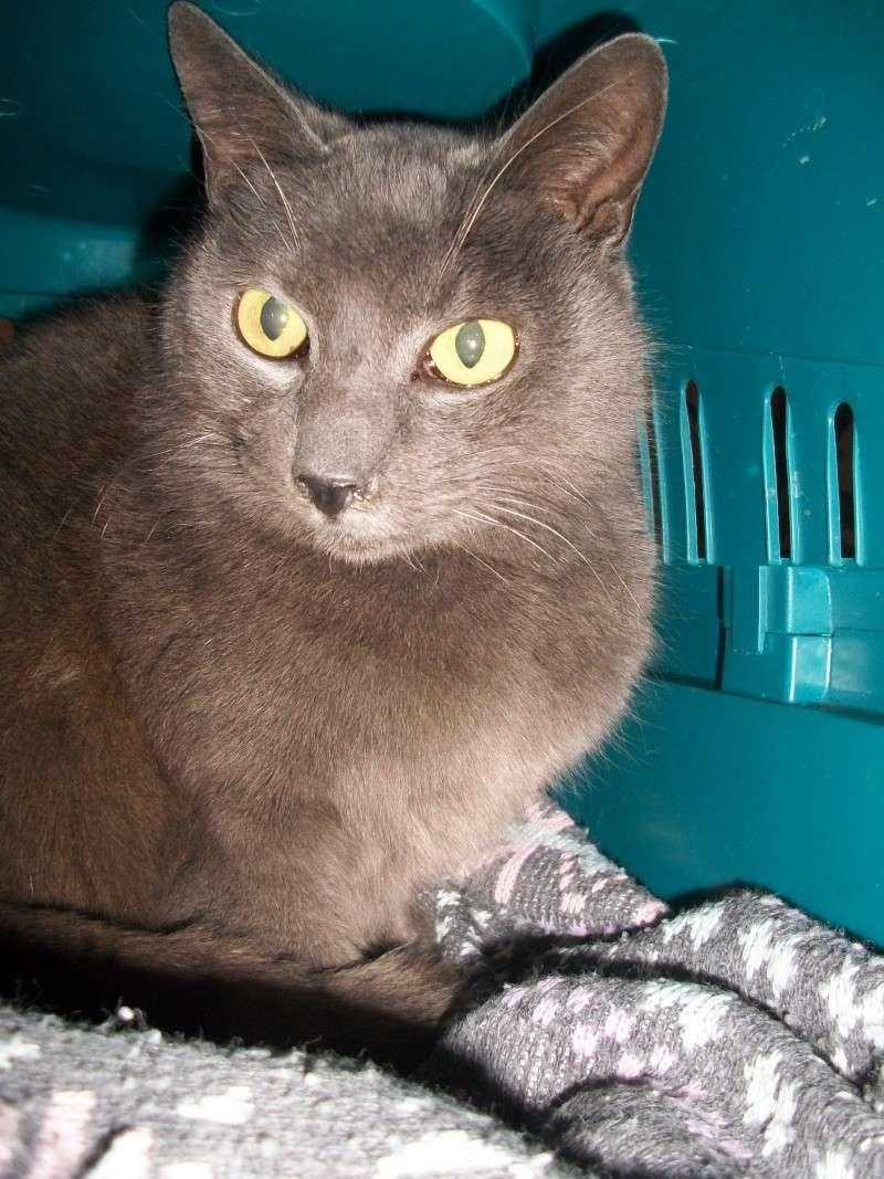 ULYSSE (chat mâle croisé chartreux) 100_9511
