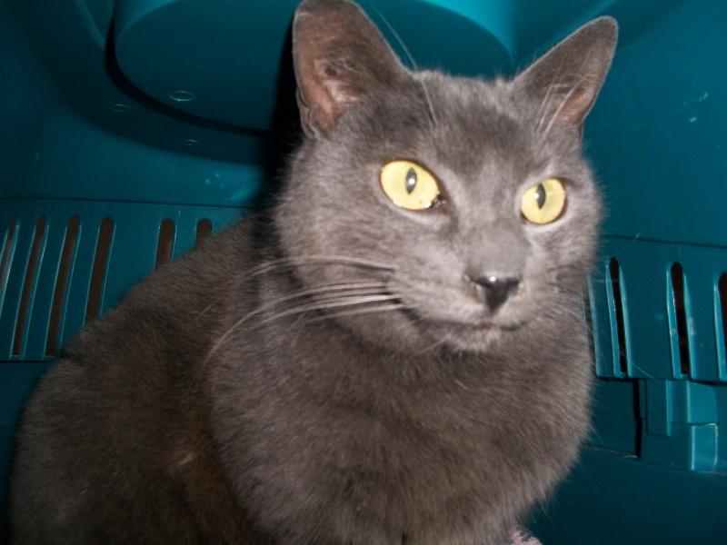 ULYSSE (chat mâle croisé chartreux) 100_9512
