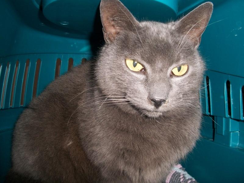 ULYSSE (chat mâle croisé chartreux) 100_9513