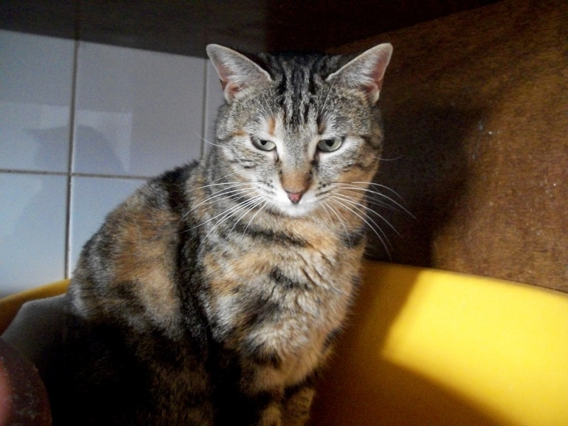 KIARA (européenne tigrée marron)réservée 100_9630