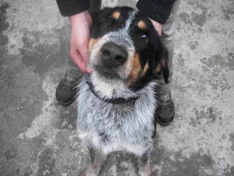 QUEBEC (mâle croisé chien courant) 101_0626
