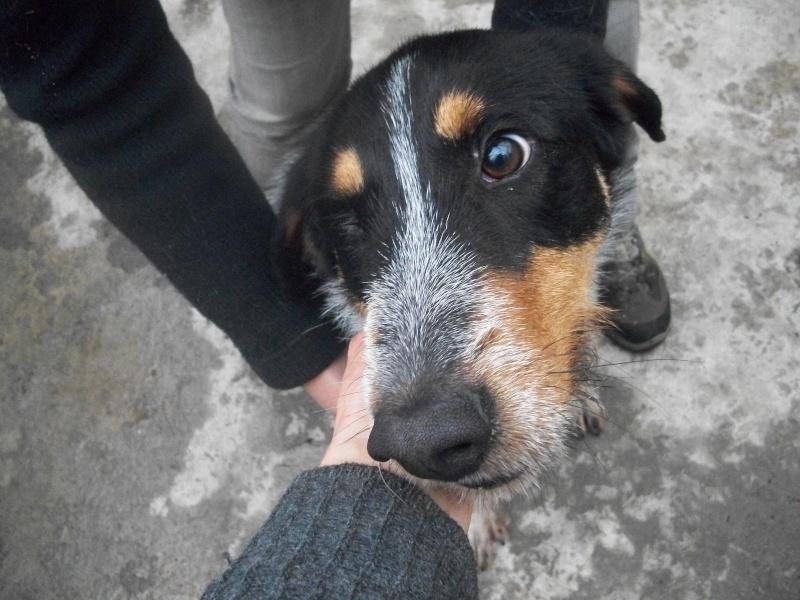 QUEBEC (mâle croisé chien courant) 101_0627