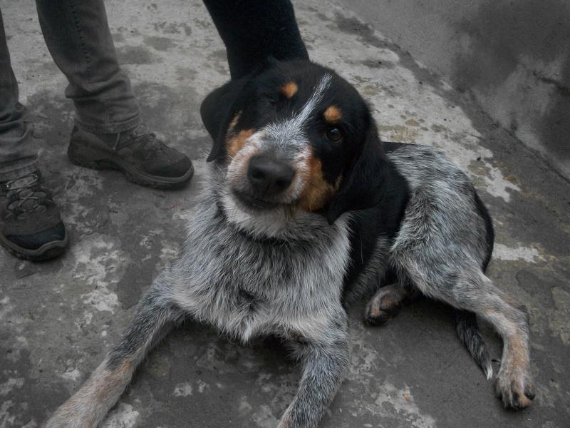 QUEBEC (mâle croisé chien courant) 101_0629