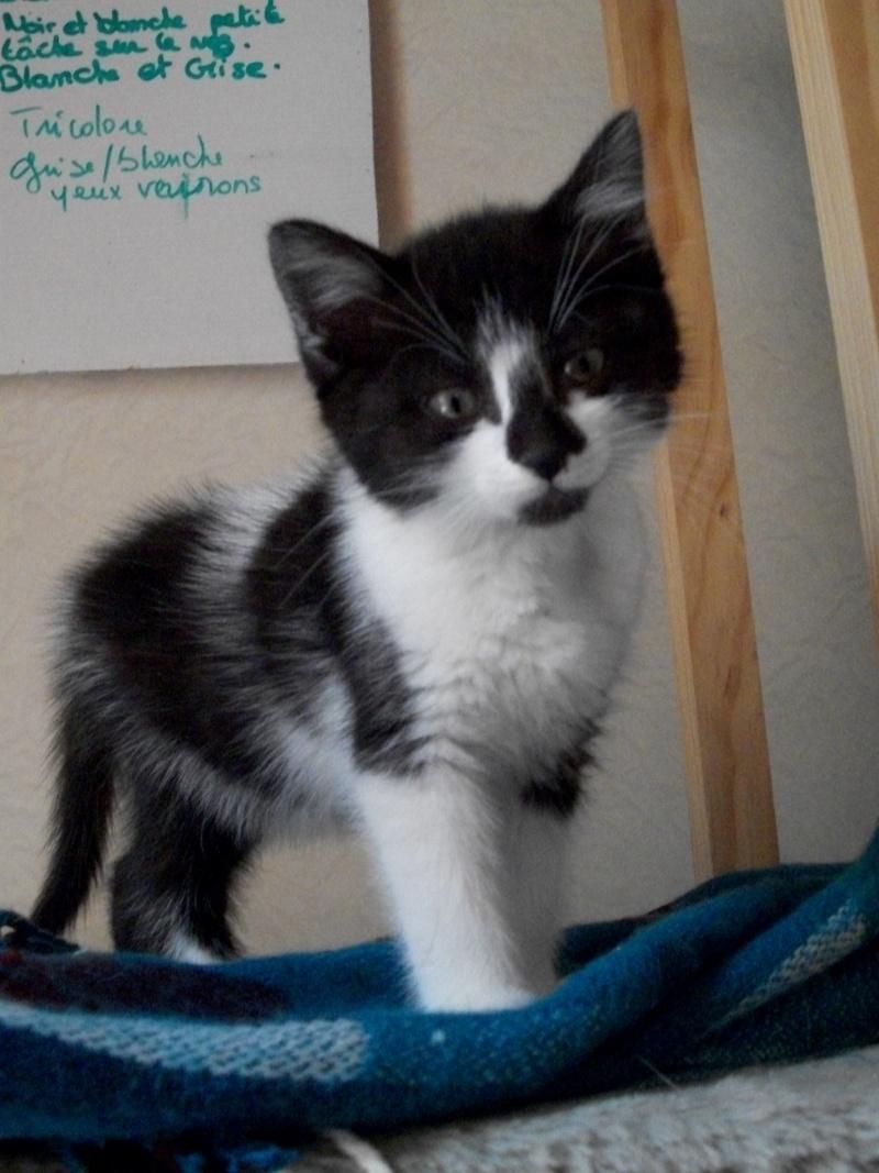 CARMINE (chaton femelle noire et blanche) 101_1219
