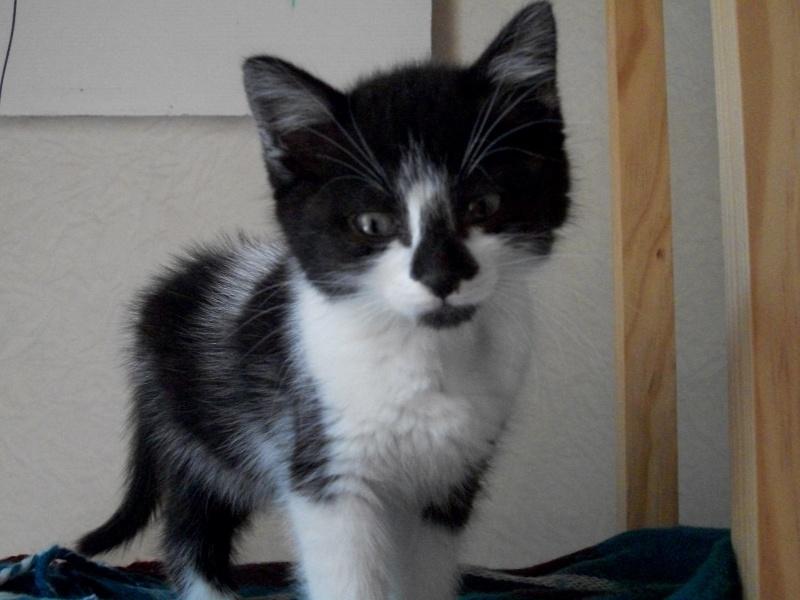 CARMINE (chaton femelle noire et blanche) 101_1220
