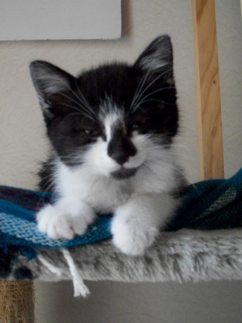 CARMINE (chaton femelle noire et blanche) 101_1223