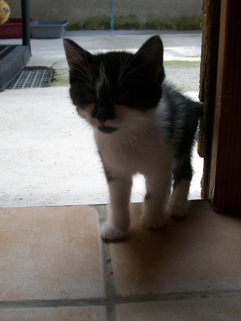 CALINE (chaton femelle noire et blanche)réservée 101_1229