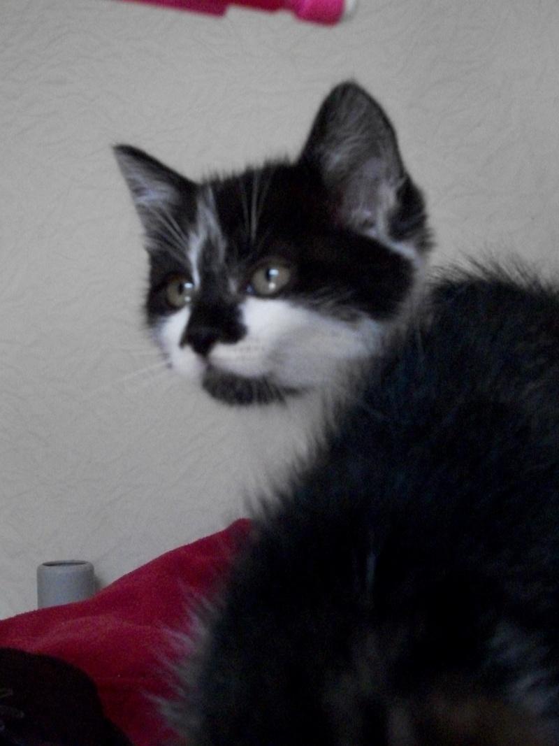 CALINE (chaton femelle noire et blanche)réservée 101_1231