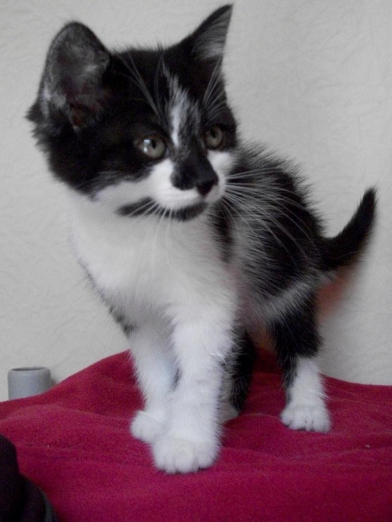 CALINE (chaton femelle noire et blanche)réservée 101_1233