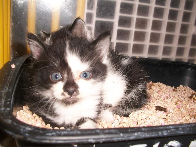 MINNIE (chaton femelle noire et blanche) 101_3017