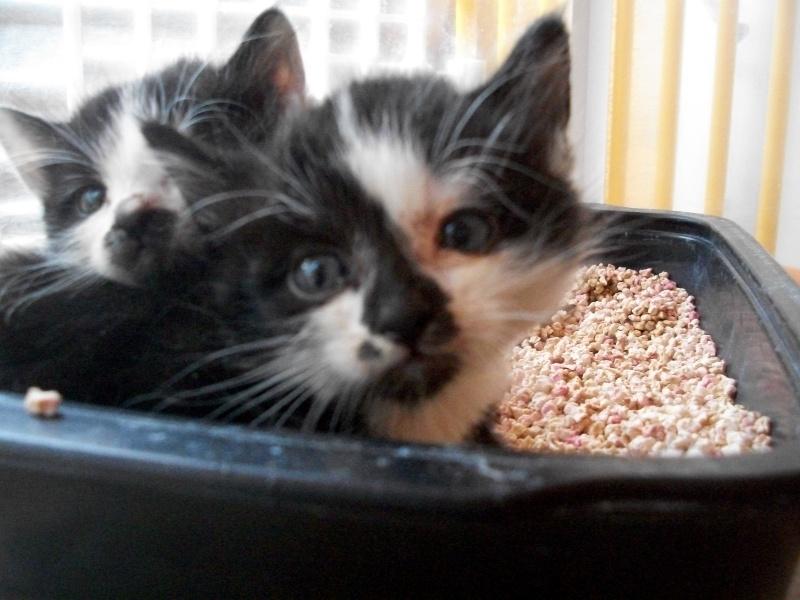 MINNIE (chaton femelle noire et blanche) 101_3019