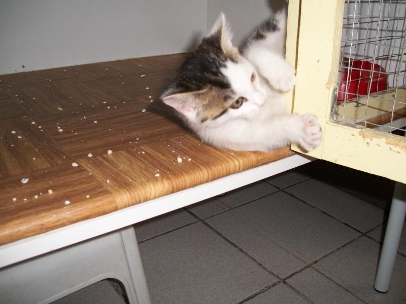 KOALA (chaton mâle blanc et tigré foncé) Bain_028