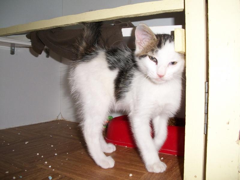 KOALA (chaton mâle blanc et tigré foncé) Bain_029
