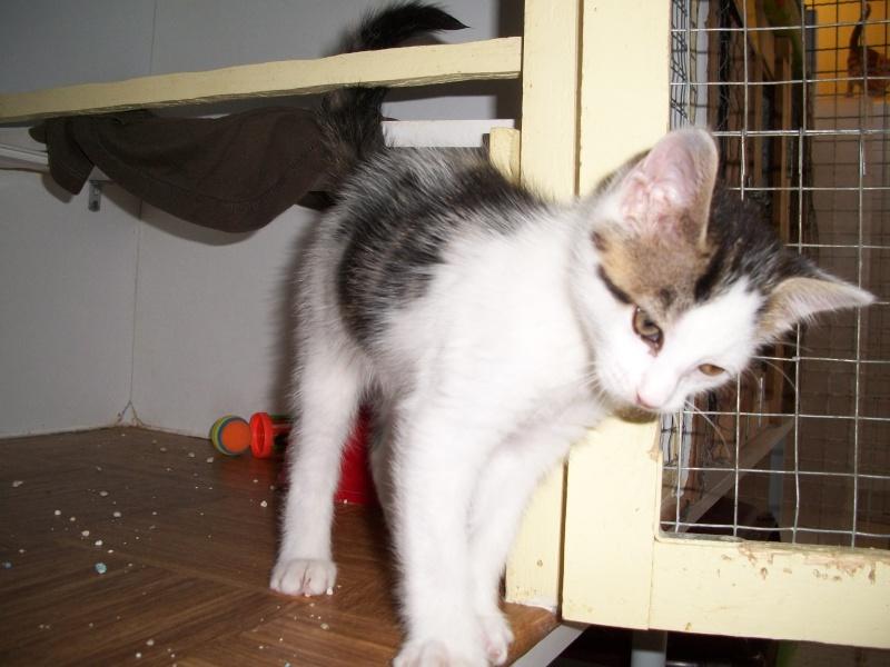 KOALA (chaton mâle blanc et tigré foncé) Bain_030