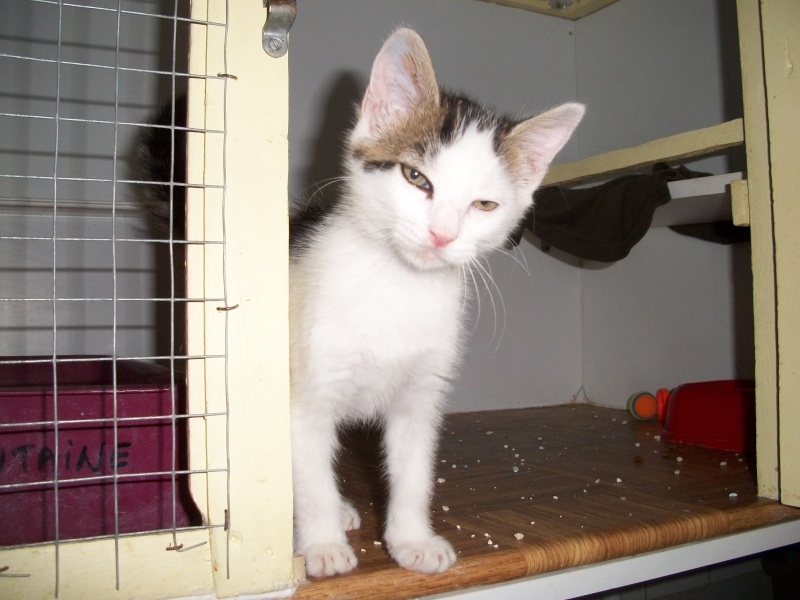 KOALA (chaton mâle blanc et tigré foncé) Bain_033