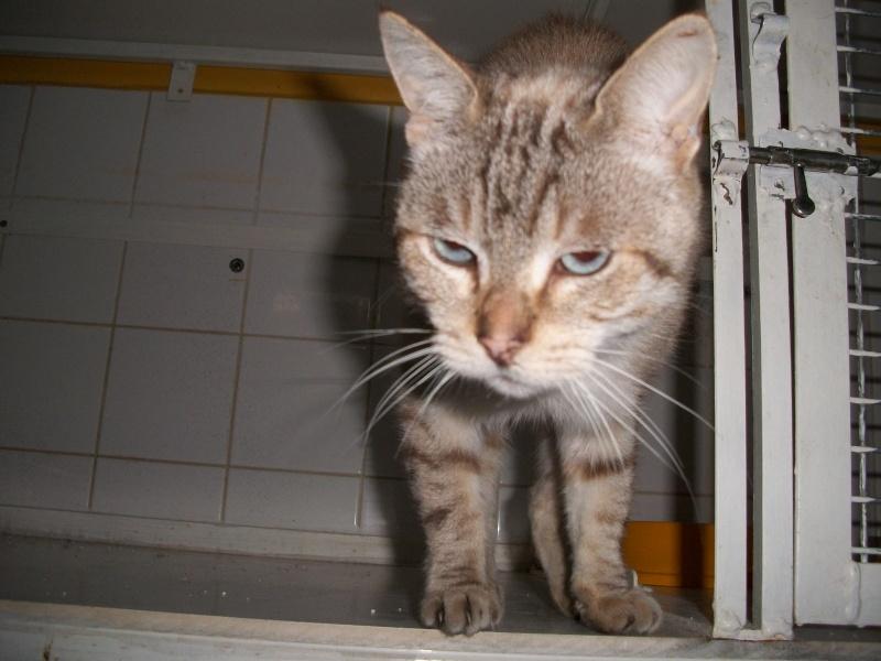 HELLY,  chat mâle croisé siamois, castré Helly_12