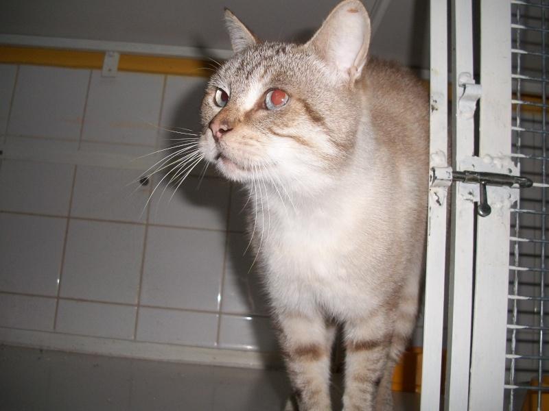 HELLY,  chat mâle croisé siamois, castré Helly_13