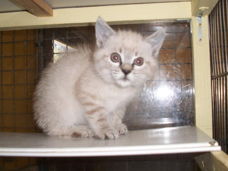 JULIENNE (chaton femelle croisée siamoise) Tanguy15