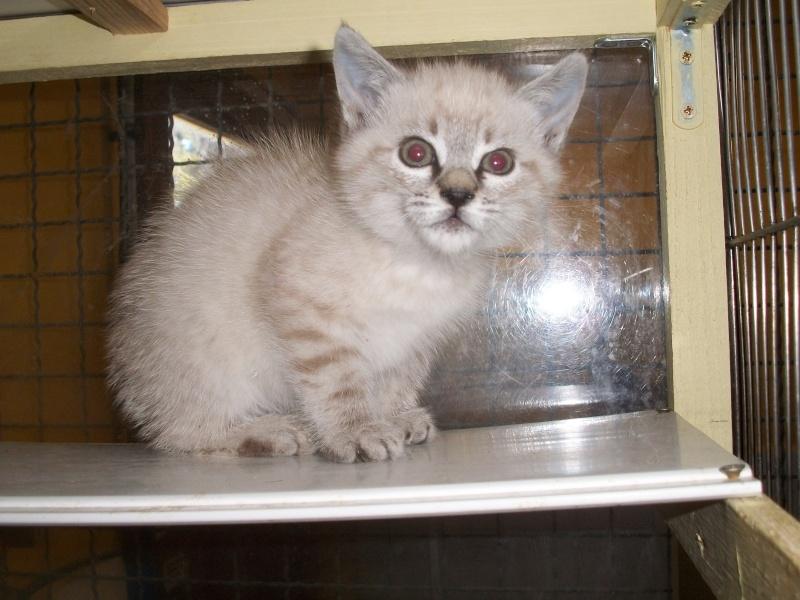 JULIENNE (chaton femelle croisée siamoise) Tanguy16