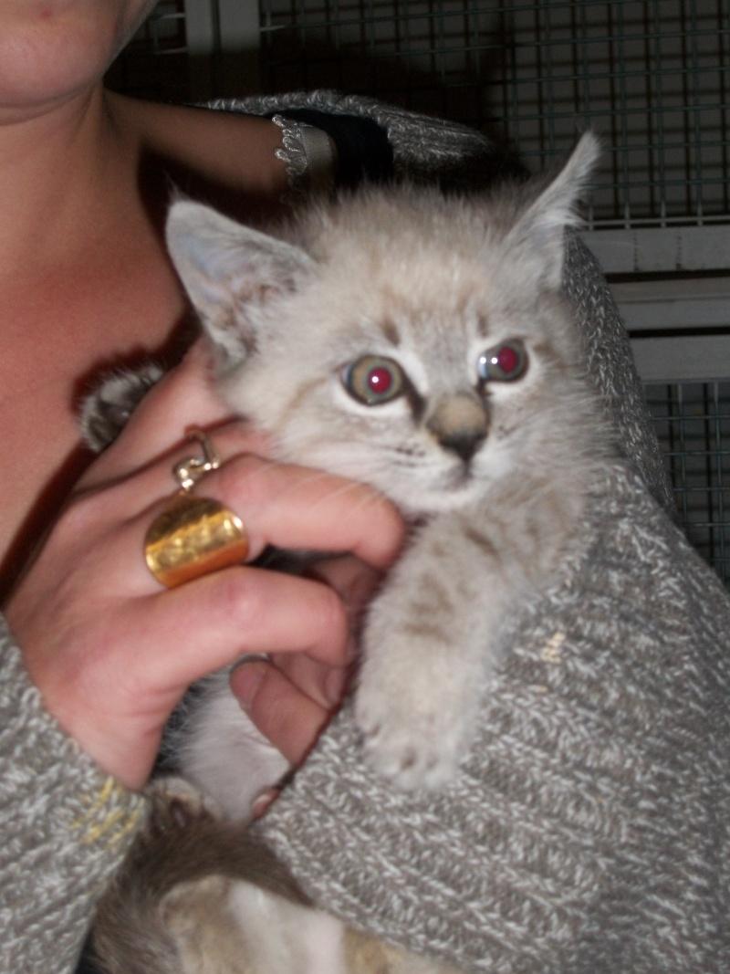 JULIENNE (chaton femelle croisée siamoise) Tanguy19