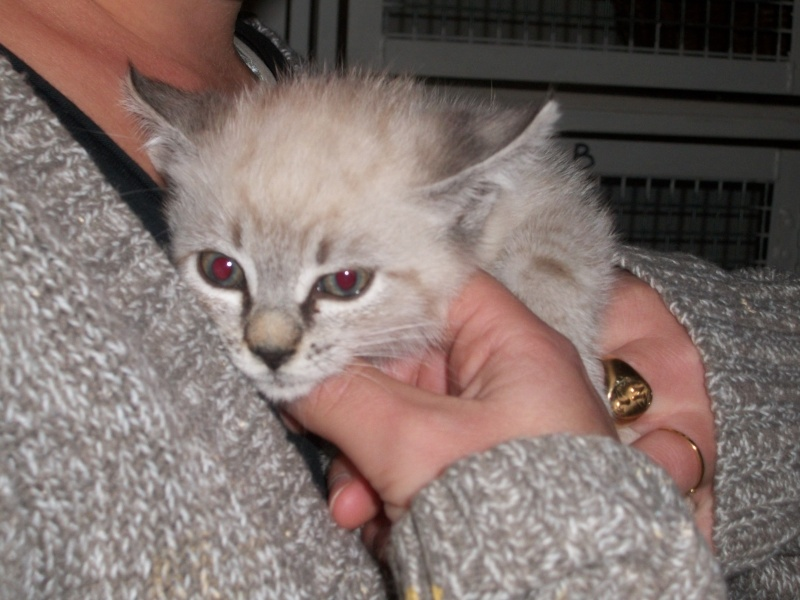 JULIENNE (chaton femelle croisée siamoise) Tanguy21