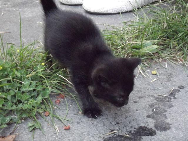 Elly Chaton femelle noire Dscf1222