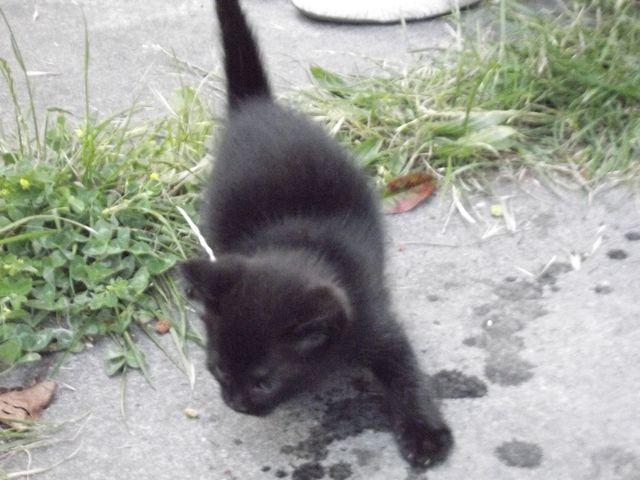 Elly Chaton femelle noire Dscf1223
