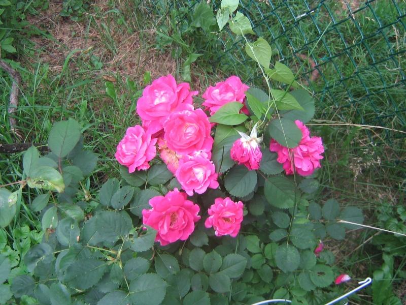 Mes Arbres et Arbustes et fleurs - Page 3 00512