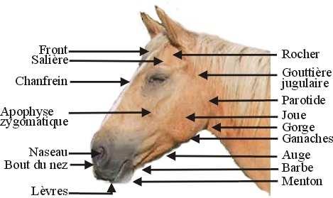 Les parties de la tête du cheval : Tete_d10
