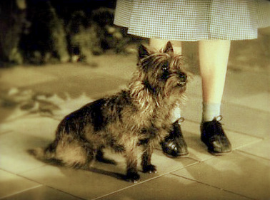 Il Cairn Terrier in Italia