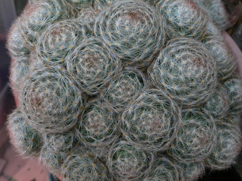 ID Mammillaria P1060810
