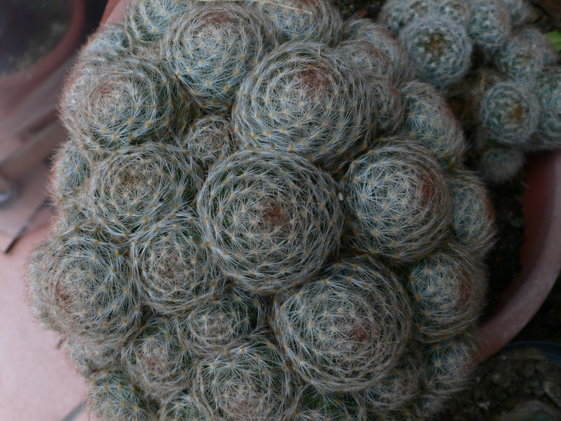 ID Mammillaria P1060812