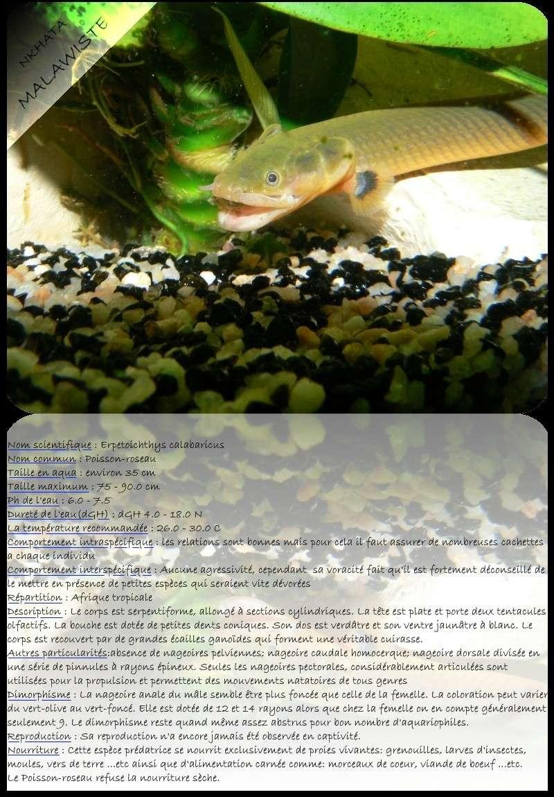 (Polyptéridés)Erpetoichthys calabaricus dit poisson roseau Base_p10
