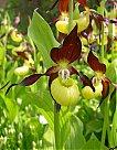orchidées vivaces Cyppri10