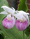 orchidées vivaces Cyprip10