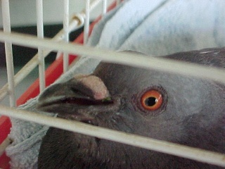 Pigeon found by the side of the road 2011-012