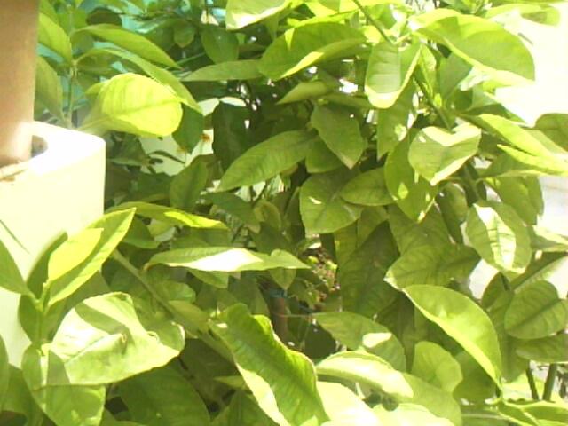 mon petit limonier  lâche tous  ses petits fruits Img02013