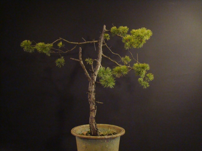 Pinus sylvestris and bends to help cut-out wedge Bend_210