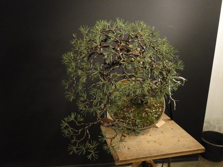 Pinus sylvestris - wider trunk Bir_110